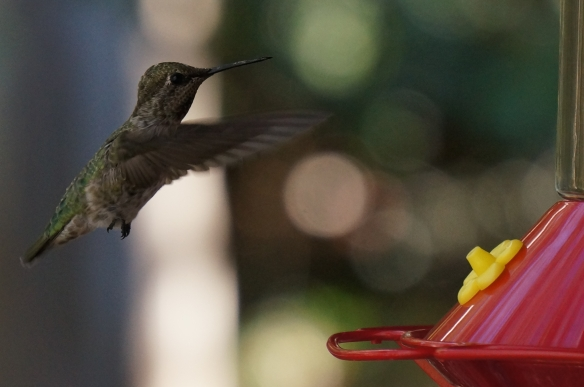 Anna's Hummingbird (female, or juvenile)