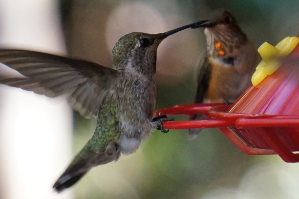 Anna's Hummingbird (female, or juvenile), Allen's Hummingbird (young male, in back)